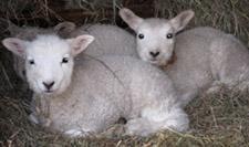Spring lambs at Magnus Wools, Peacham, Vermont