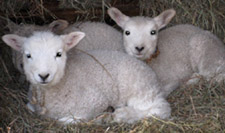 Lambs from Magnus Wools, Peacham, Vermont