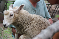 Working with the sheep at Magnus Wools, Peacham, Vermont