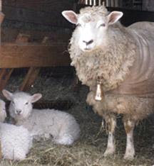 Spring lambs at Magnus Wools, Peacham, Vemont